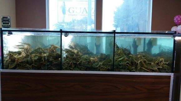 Разведение в крупном аквариуме