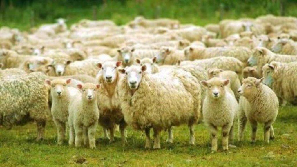 Овцы пасутся на пастбище