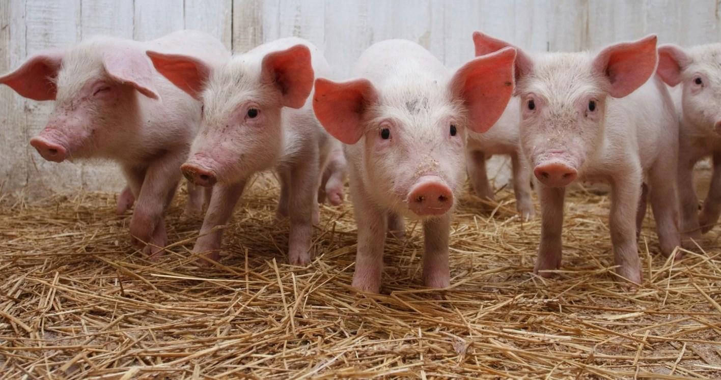 Свиньи как бизнес